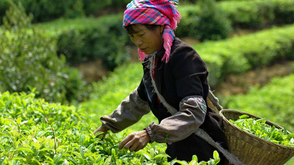 Yi tea worker