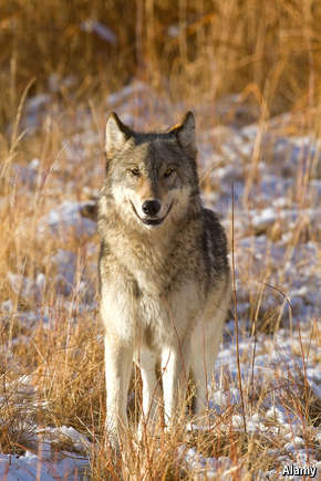 current issues on grey wolves Grey wolves - wikipedia, the free encyclopedia grey wolves from wikipedia, the free encyclopedia jump to: navigation, search this article may contain.