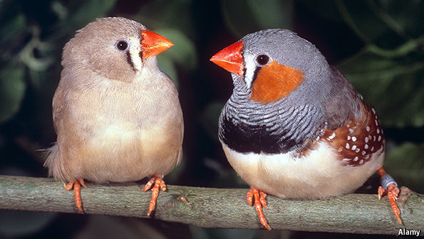 news science technology choosing their mates works best zebra finches speed dating birds