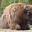 Wisent wisent wisent
