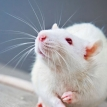 Fearless rats
