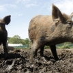 Why are feral pigs so hard to control?