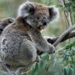 Koala killer