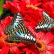 A butterfly on a wheel