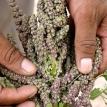 Quinoa selection