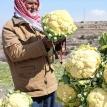 The king of cauliflowers