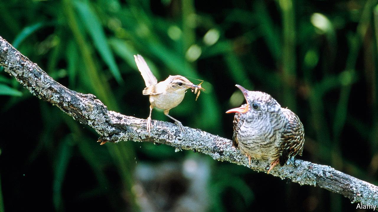 Thicker eggshells help cuckoos hatch earlier than their nestmates