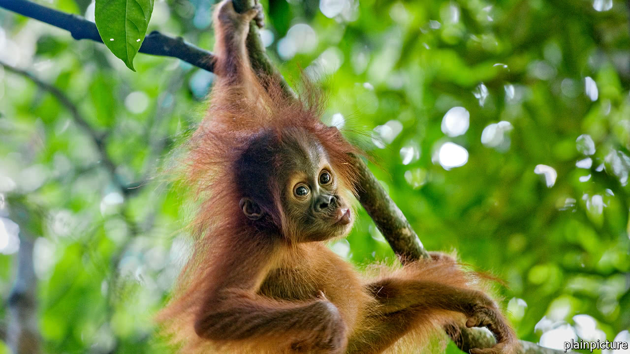 To save orangutans, think of them as money swinging from trees