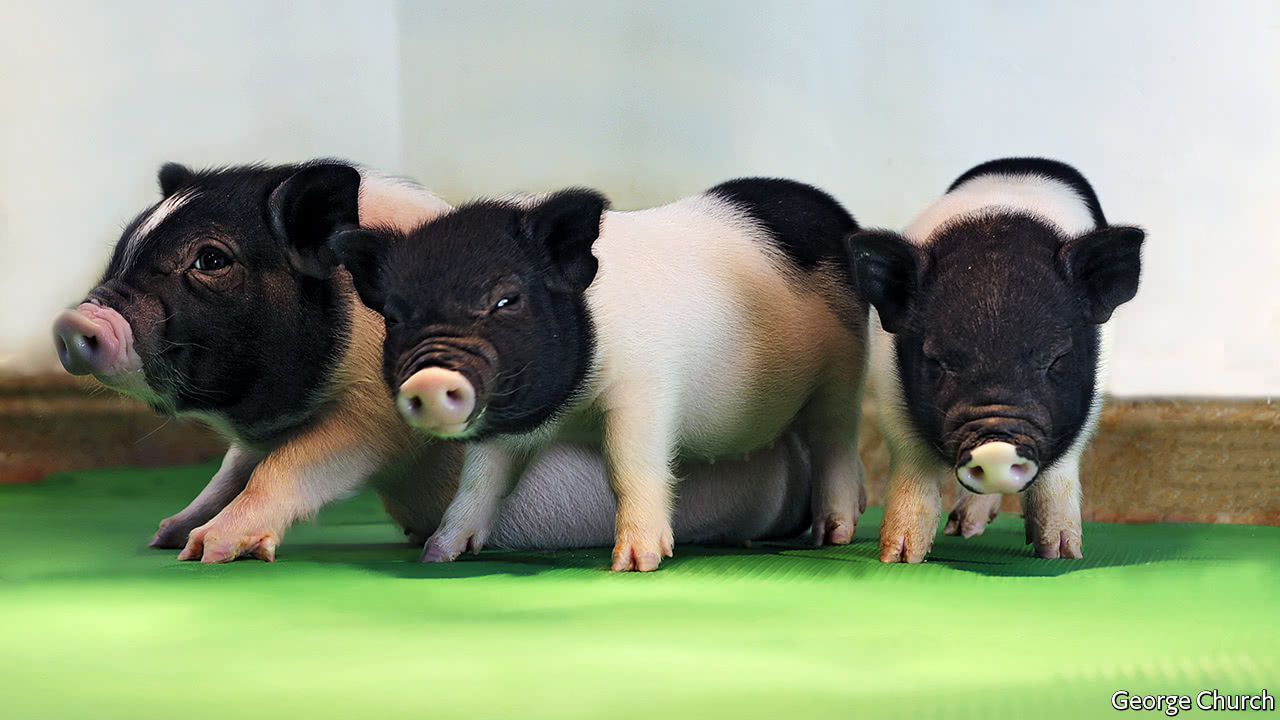 Scientist Move Closer to Pig-human Organ Transplants