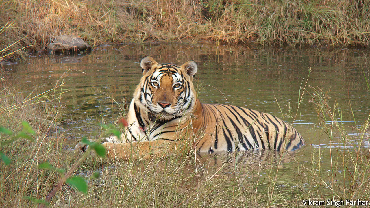 what an indian tiger s bid for freedom says about humans and nature