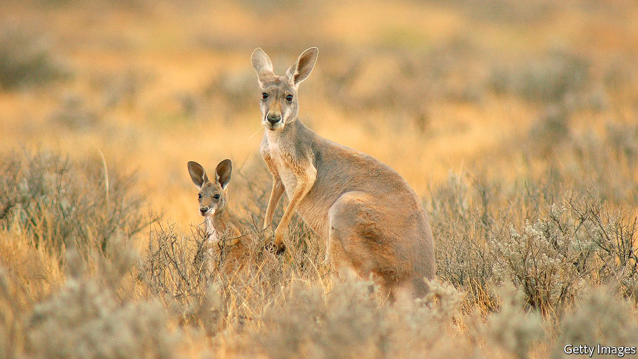 The culling of kangaroos divides Australia - Roo barbs